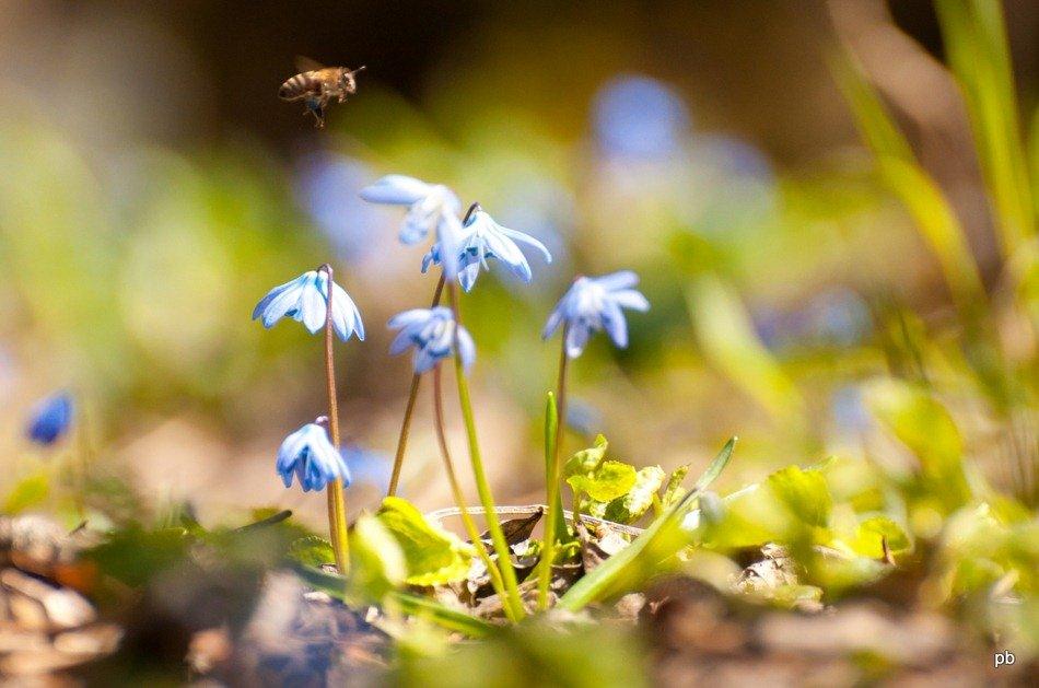 Пчёлка садится на пролеску