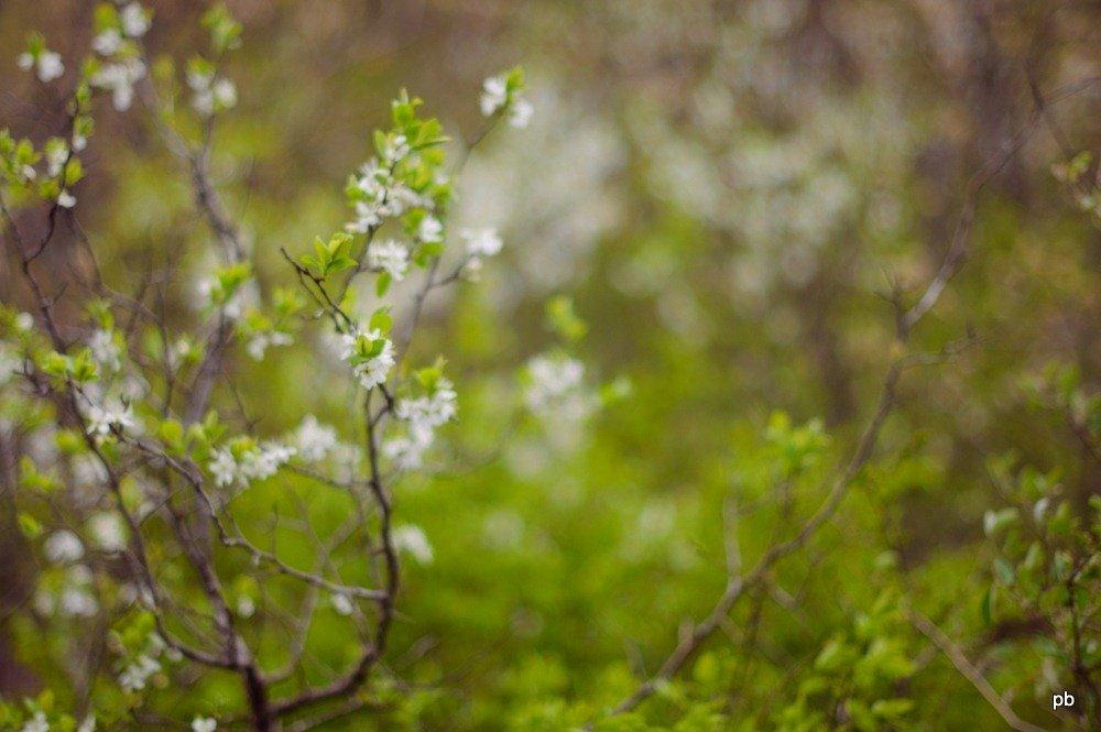 Тёрен весной