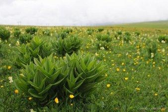 Чемерица - очень ядовитое растение