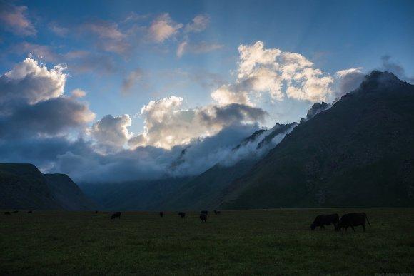 Коровам всё нипочём, щиплют траву при любой погоде