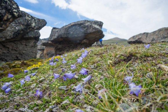 Цветы альпийских лугов на высоте 3000