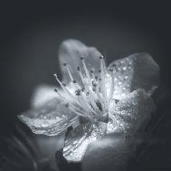 Макро - цветок алычи