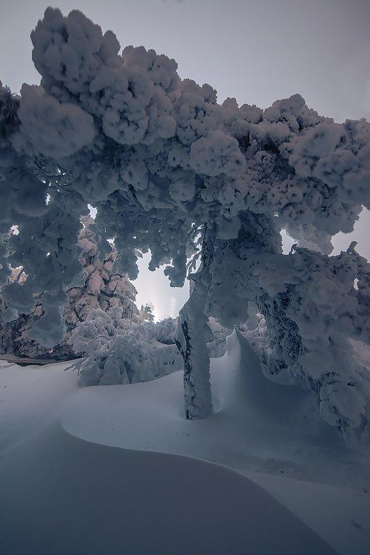Сосна в снегу