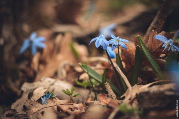 Весенние пролески