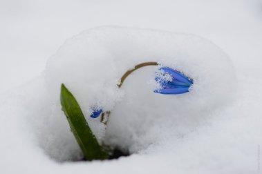 Пролески в снегу