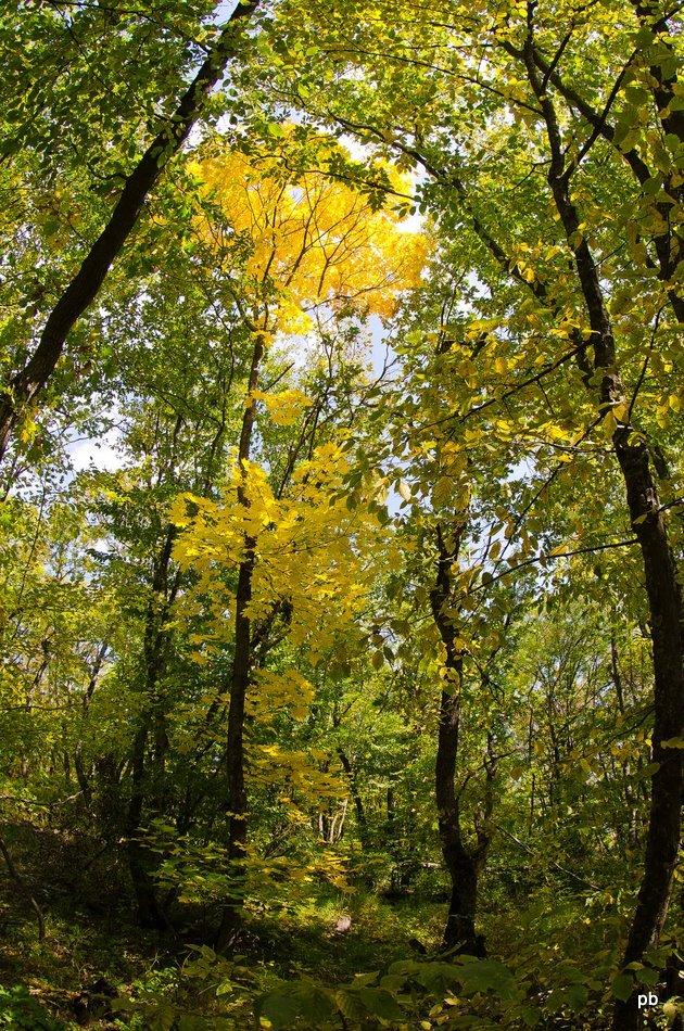 Осенний пожелтевший клён