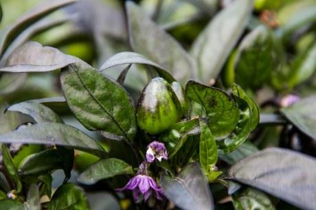 Peru Purple