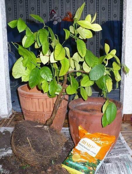 Почва для цитрусовых в домашних условиях. Состав и кислотность грунта для цитрусовых растений, как сделать своими руками Почва для цитрусовых в домашних условиях