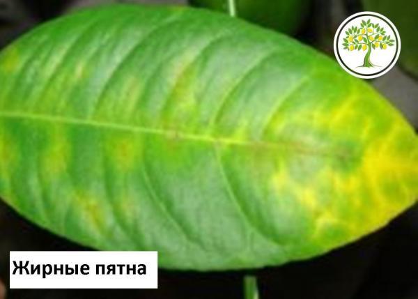 Виды болезней и вредители лимона и их лечение