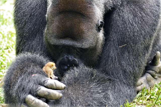 Giant Gorilla Becomes Best Buds With Littlest Bush Baby ...