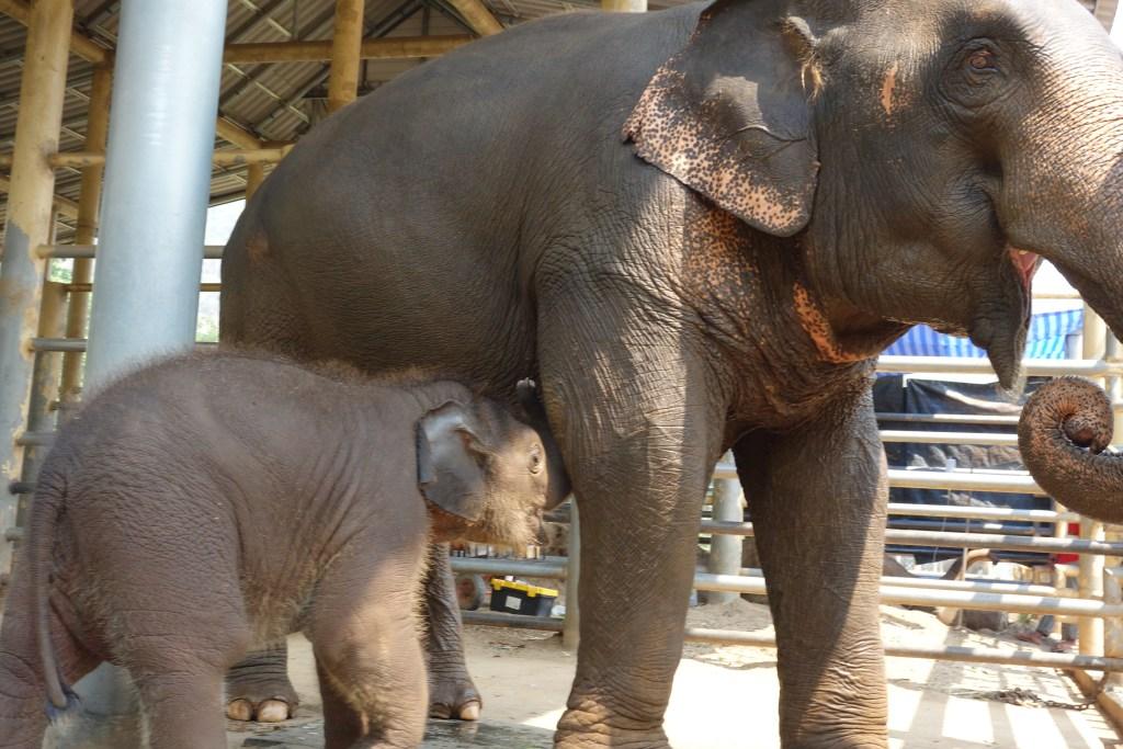 清邁ENP 小象Navan