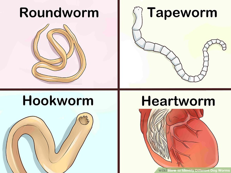 What Type Worms Dogs