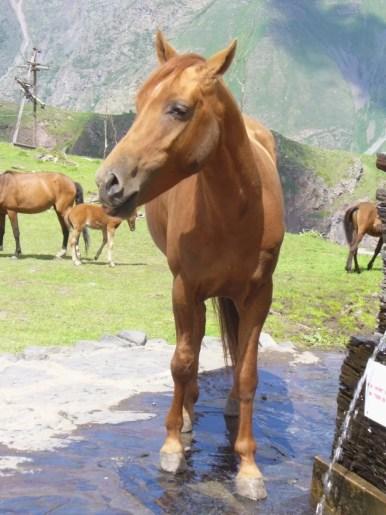 koń pijący wodę przy monasterze cminda sameba w stepantsmindzie kazbegi