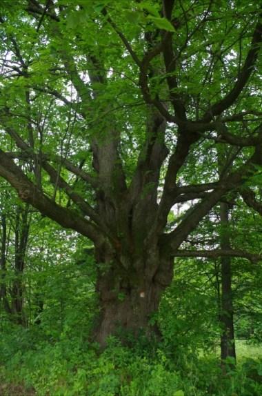 miejsce po dawnej cerkwi czyli cerkwisko wyznaczone przez stare drzewo w wernejówce w beskidzie niskim