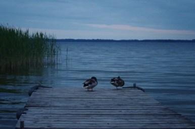 kaczuszki nad wieczornym jeziorem dargin na mazurach