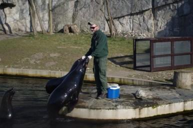 foki podczas karmienia w zoo we wrocławiu