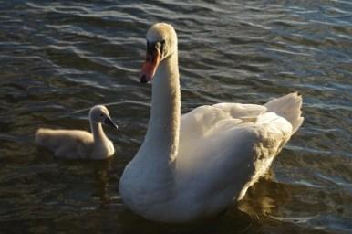 mama łabądź i małe brzydkie kaczątko na jeziorze niegocin pod giżyckiem