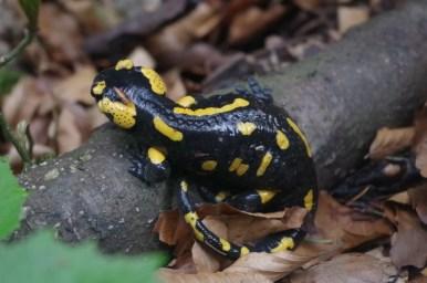 salamandra plamista podczas wilgotnej pogody w słowackiej małej fatrze w janosikowych dierach