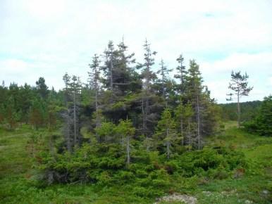 jedno drzewo z wieloma korzeniami w rosyjskiej tajdze na półwyspie kolskim