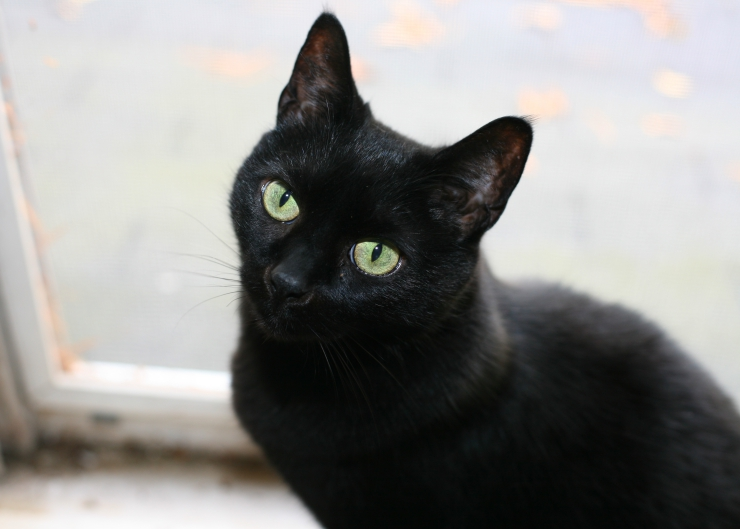 Black Cats Good Luck Or Bad Luck
