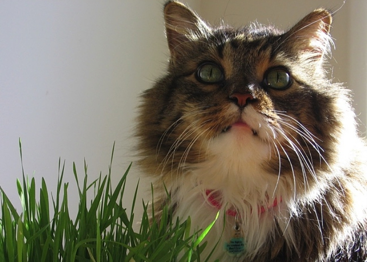 Cat grass is a great source of fibre and useful in preventing hairball formation | Hairballs and What to do About Them