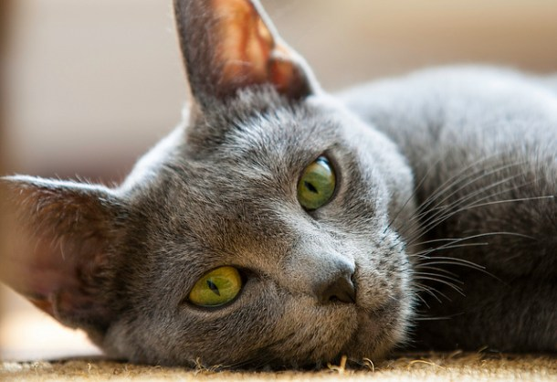Russian Blue cats are considered a lucky cat in Russia, and pictures or symbols of Russian Blue cats are traditionally given to brides on their wedding day to encourage a happy union and the blessing of children.