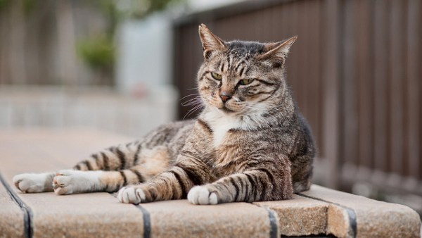 Every year, millions of pets around the world enter animal shelters as strays | Why Should You Microchip Your Cat? PLUS Microchip FAQs