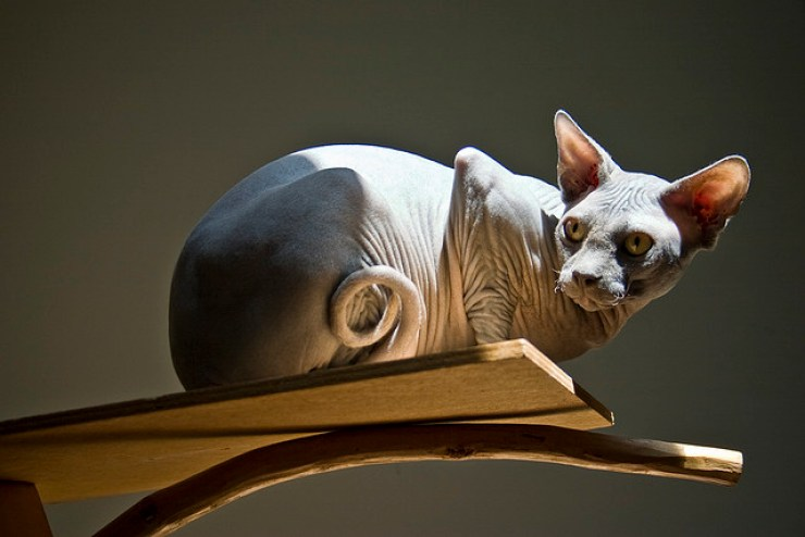 Sphynx Cats | Five Unusual Cat Breeds