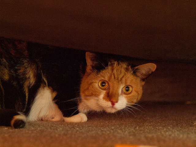 Cat hiding under bed