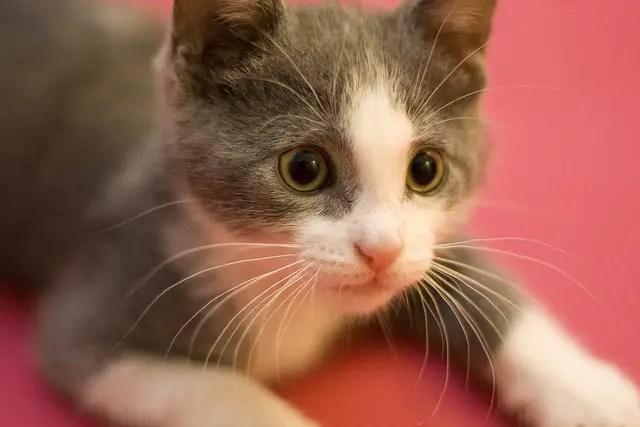 Grey and white kitten