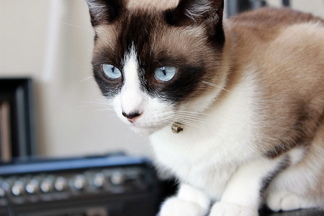 Snowshoe cats have been increasingly popular since Grumpy Cat became an internet superstar in 2013.