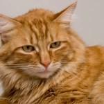 ginger cat sitting