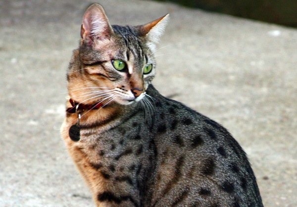 Egyptian Mau cats are naturally athletic and exceptionally fast runners - one Egyptian Mau cat was clocked at 30 miles (48 kilometres) an hour.