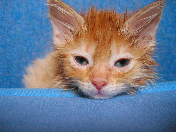 If you notice your kitten scratching his ears or shaking his head he may have ear mites | Six Common Kitten Illnesses