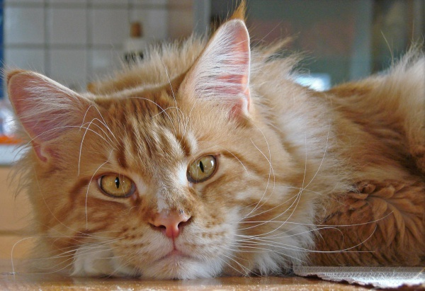 Traits Domestic Cats Have Inherited From Wild Cats