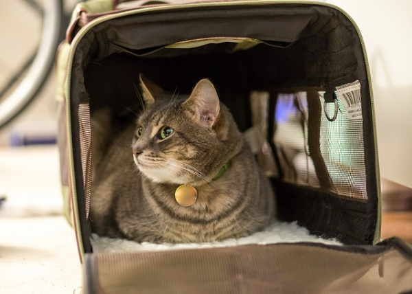 Encourage your cat to investigate the cat carrier with the door open | 7 Steps to Get your Cat Used to the Cat Carrier