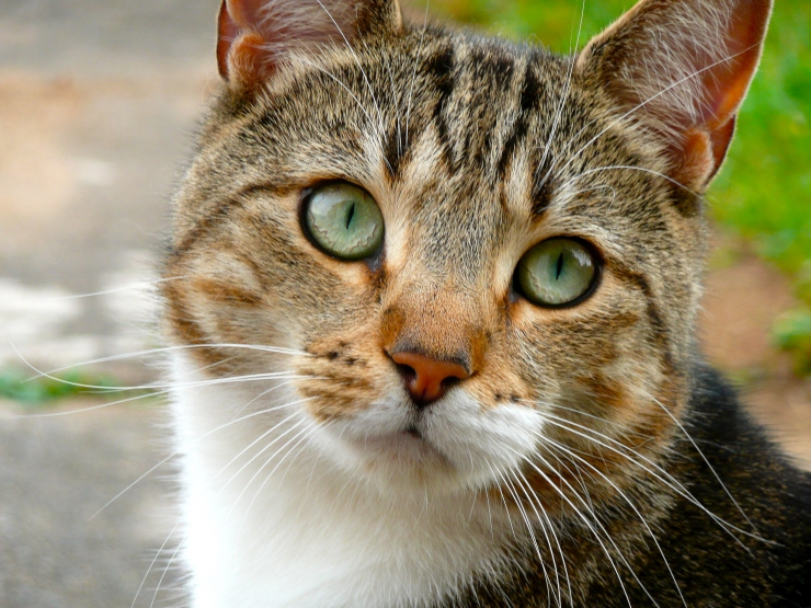 "Did you know that there are four different types of tabby cat? | The Terrific Tabby Cat and the Mystery of the ""M"""