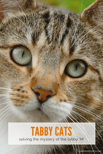 "tabby cats - solving the mystery of the ""M"" on forehead"