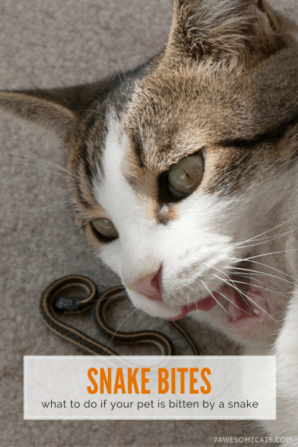 How can you prevent your cat getting a snake bite, and what should you do if the worst happens? | Summer Safety for Cats: Snake Bites