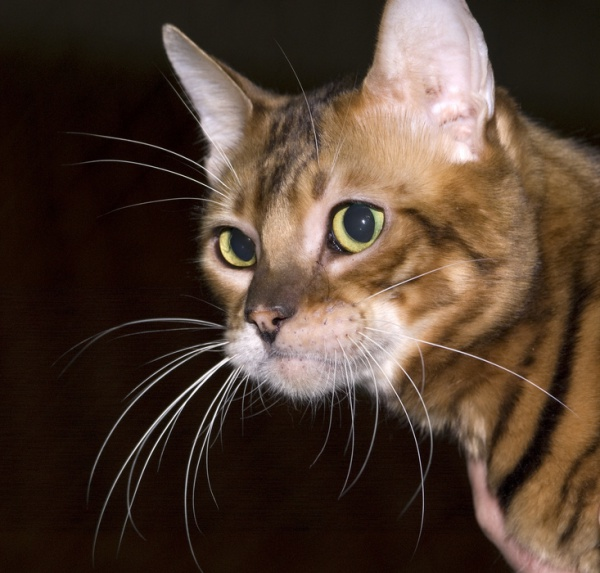 Toyger cats have been selectively bred to resemble their big cat cousins in a miniature version – the name Toyger is a combination of 'Toy' and 'Tiger'.