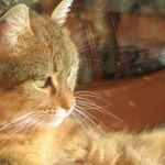 Summer Safety for Cats: Heatstroke and Sunburn