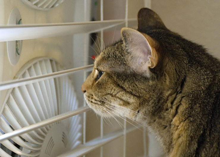 Keep your cat cool this summer | Summer Safety for Cats: Heatstroke and Sunburn