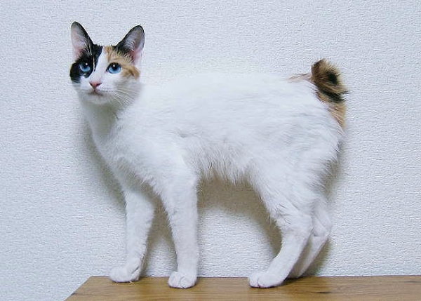 Like fingerprints are different for every human so too is every Japanese Bobtail born with its own unique variant of tail.