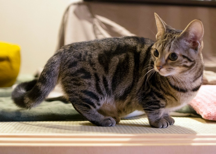 Despite Their Short Legs, The Munchkin Cat Will Run And Jump Just Like Any  Other