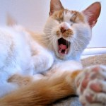Why Do Cat's Yawn?