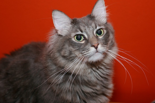 grey tabby cat with long whiskers