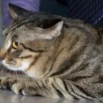 Chinese Li Hua Cat Breed Profile
