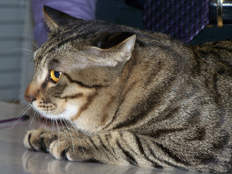 The Chinese Li Hua is the oldest native breed in China with striking brown mackerel tabby markings. They are well suited to families with kids and pets. | Chinese Li Hua Cat Breed Profile