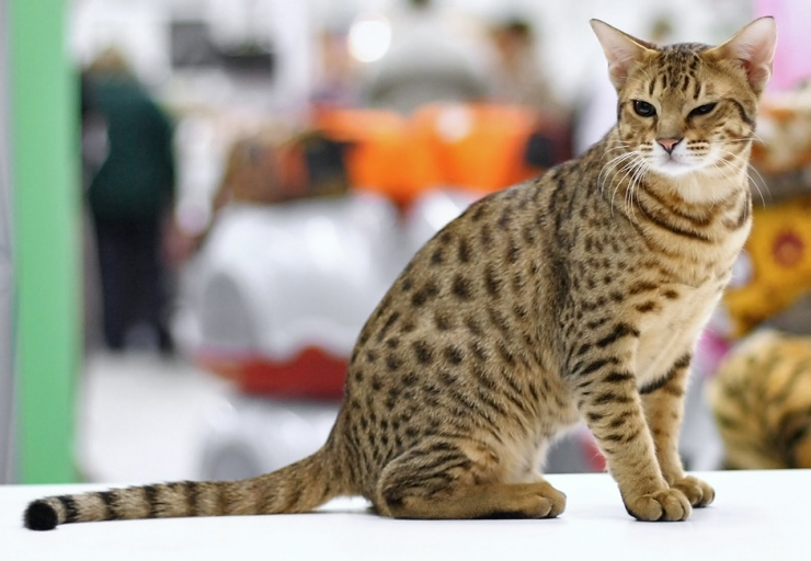 Similar in appearance to its namesake the ocelot, the Ocicat is a designer species created by Virginia Day in Michigan in 1964 | Occicat Cat Breed Profile
