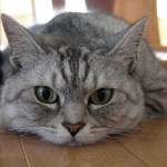 Pancreatitis and Your Cat